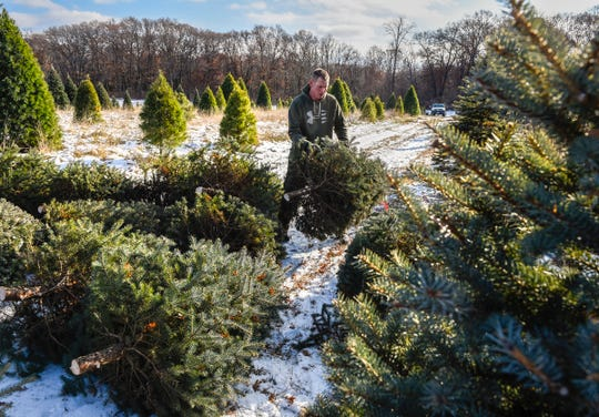 Adam Thomas, Jan's Christmas Trees, carries fresh cut trees to be baled and shipped Tuesday, Nov. 13, 2018 near Clear Lake.