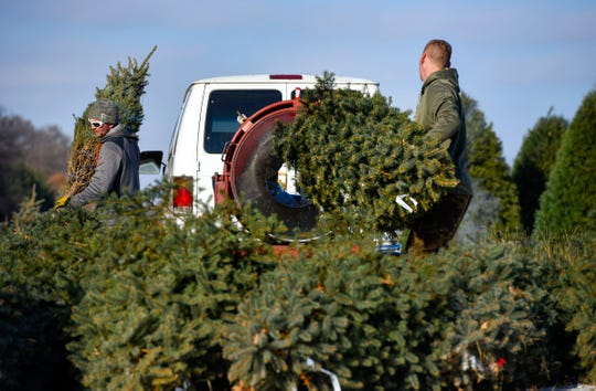 Justin Zeroth and Adam Thomas, Jan's Christmas Trees, bale, sort and stack trees to be shipped Tuesday, Nov. 13, near Clear Lake.