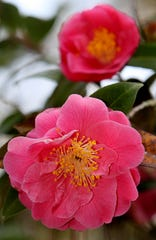 Colorful yellow stamens make a nice color contrast on these beautiful camellias at Maclay gardens.