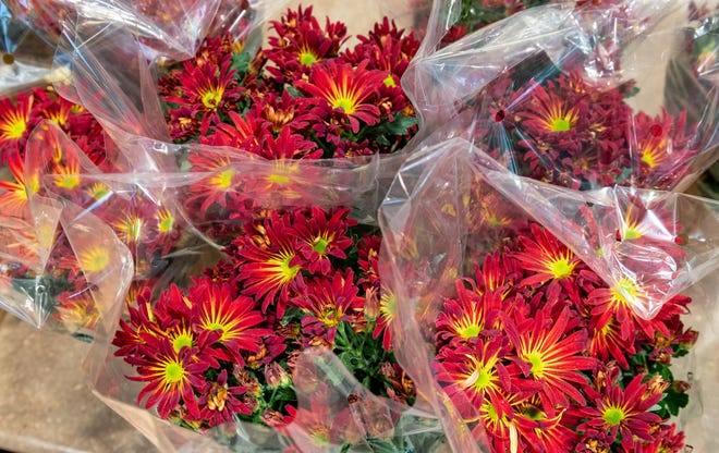 """3,420 chrysanthemums were delivered throughout Tulare County by about 30 volunteer drivers on Wednesday, November 14, 2018 for Family Services' 20th annual """"Thanks for Giving"""" mum sale. Call Amy at 559-732-1970 to get on their list for next year."""