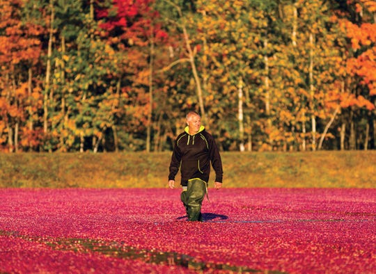 Jim Bible of Brockway Cranberry in Black River Falls wades through a flooded cranberry marsh as berries are about to be gathered.
