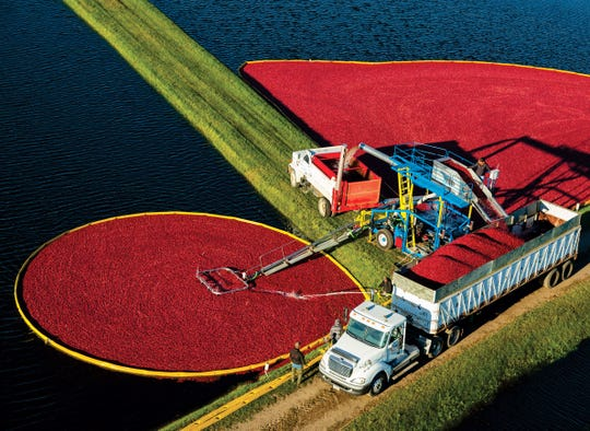 The town of Warrens in Monroe County, where these cranberries are being harvested, is the epicenter of cranberry production in Wisconsin. Every year the town celebrates the fall harvest with the Warrens Cranberry Festival, the largest cranberry-related arts and crafts festival in the United States.