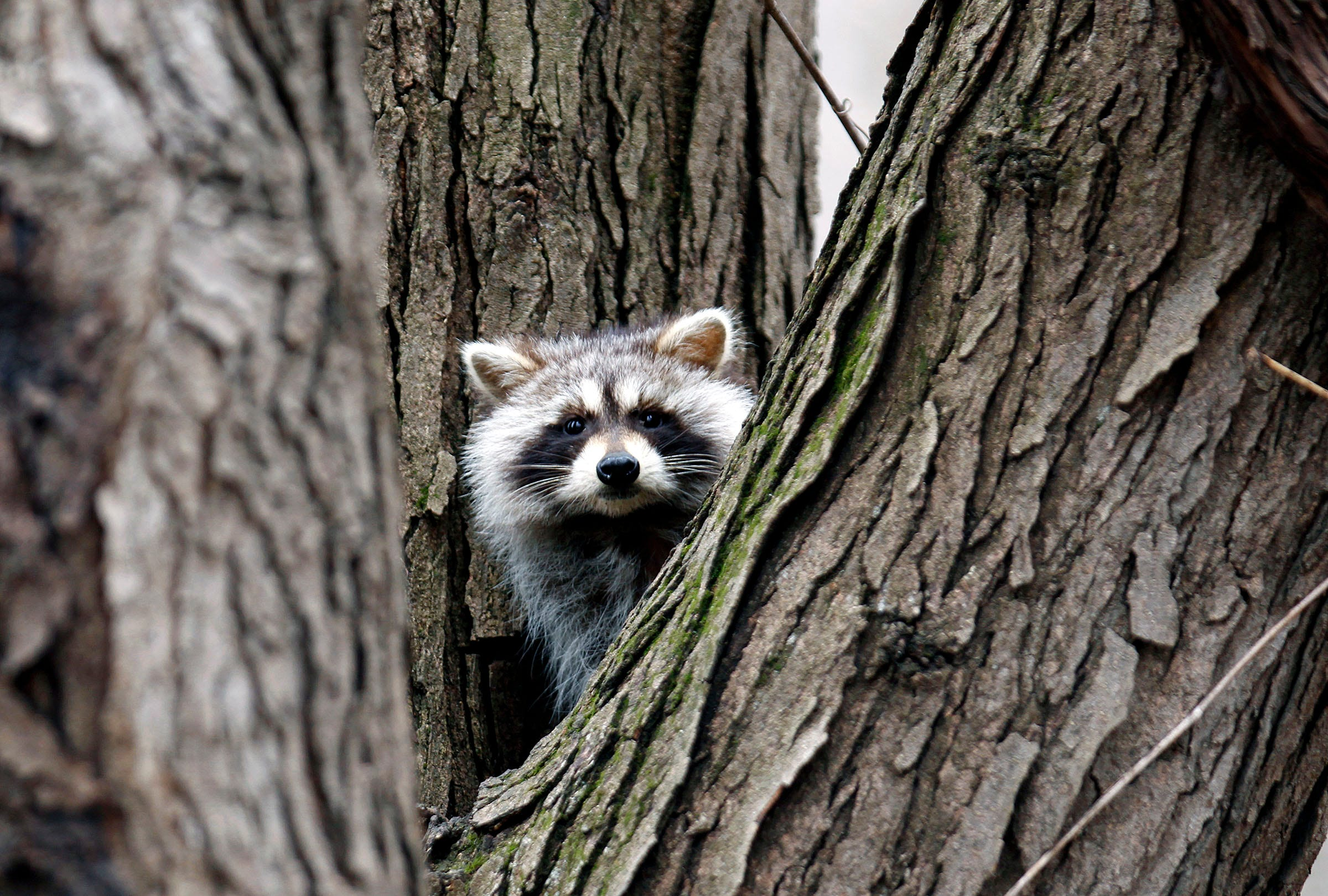 Zombie raccoon' sightings: Distemper virus can spread to dogs on retirement home, websites for iowa modular home, sheetrock installation home,