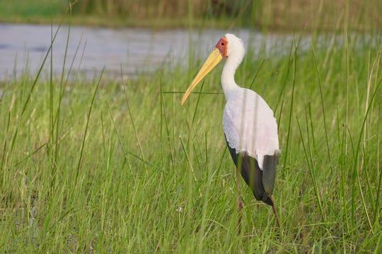 A yellow-billed stork surveys the surroundings in Botswana's Okavango Delta.