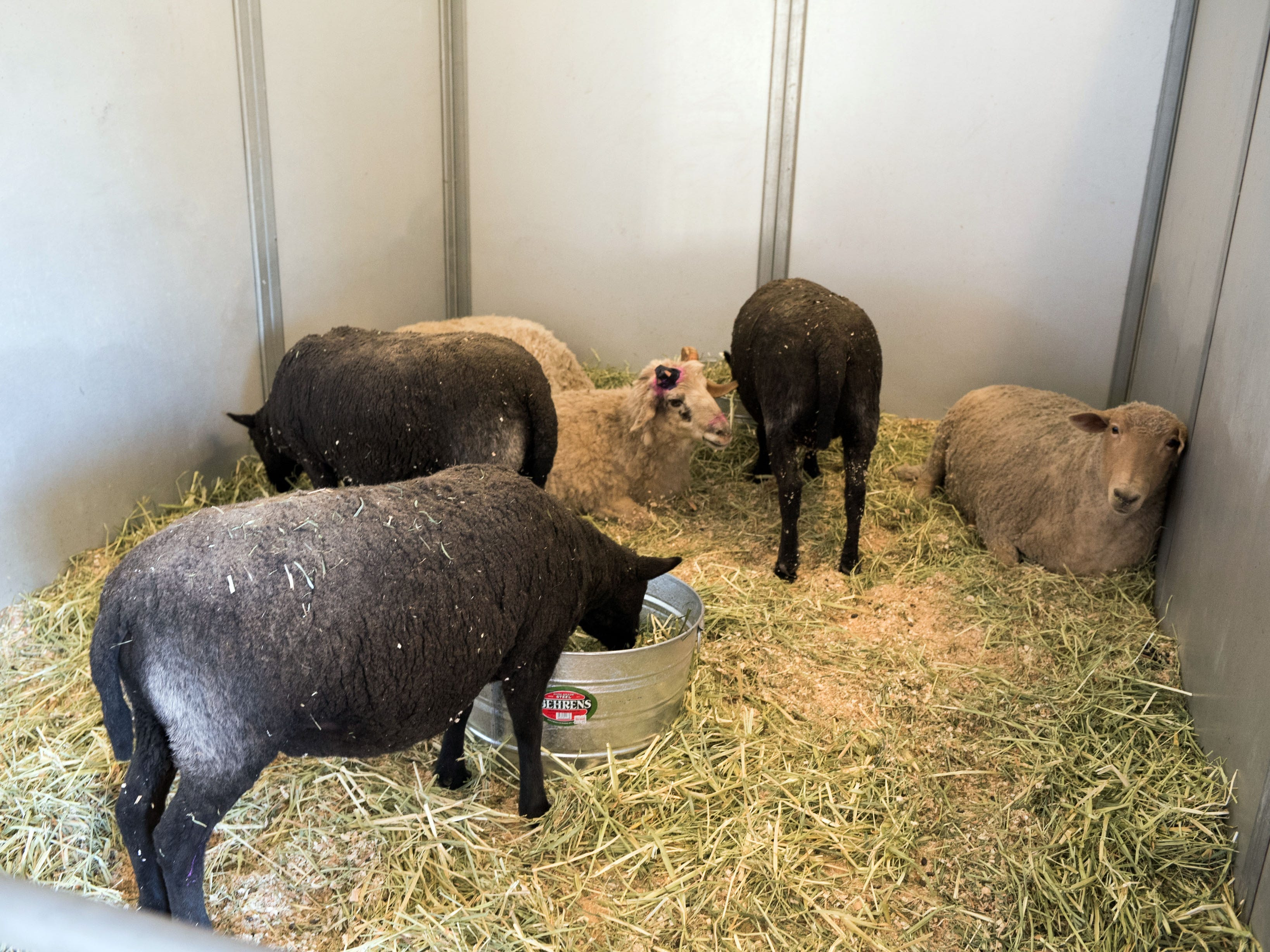 Livestock displaced by the Woolsey Fire are kept in stalls on the campus of Pierce College in Woodland Hills, Calif. on Nov. 12, 2018.