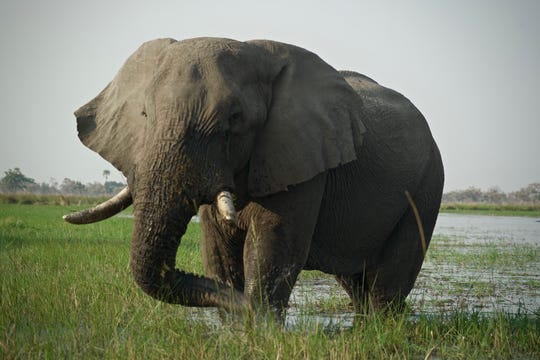 An adult elephant feeds on grasses in Botswana Okavango Delta.  August 2018