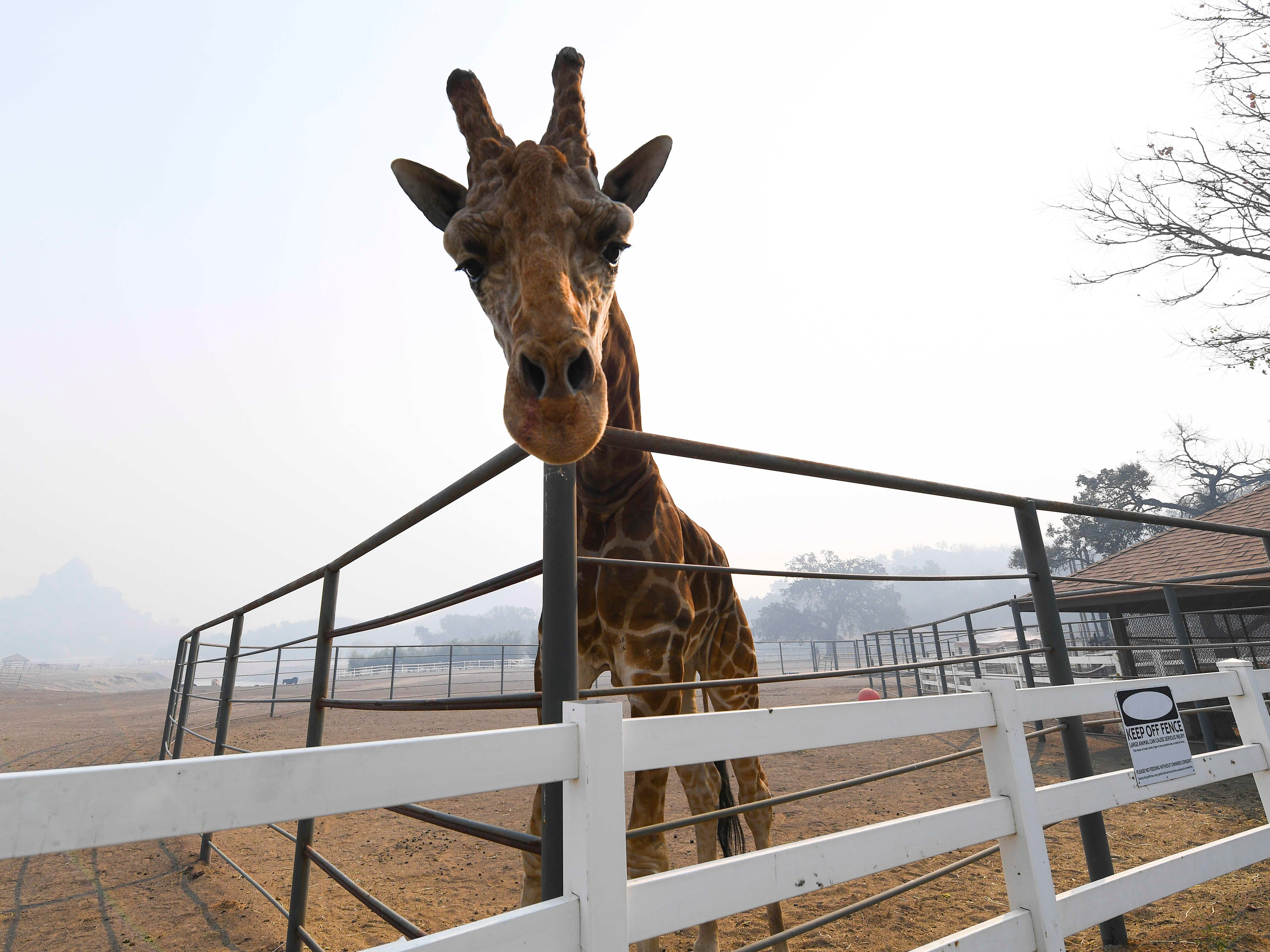 Stanley The Giraffe, one of several exotic animals at Saddlerock Ranch, is shrouded in smoke from the Woosley Fire in Malibu, Calif., Nov. 10, 2018. The animals on the ranch survived, but several buildings on the property were destroyed or damaged by the fire.