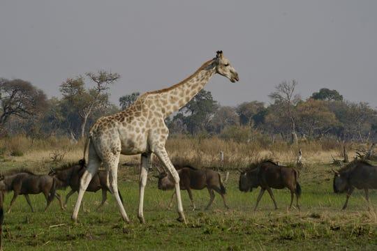 A giraffe walks in front of several wildebeest in Botswana's Okavango Delta.  August 2018