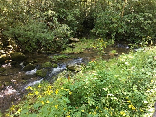 Sochan is seen here growing by a river in Great Smoky Mountains National Park. The park signed an historic agreement March 25 with the Eastern Band of Cherokee Indians to allow the tribe to harvest sochan, a traditional Cherokee food, in the park.