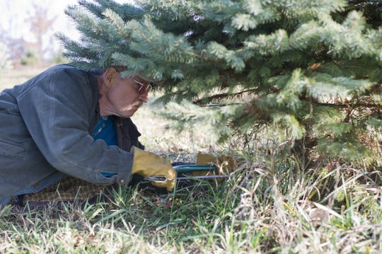 Tom Paul of Marshall cuts down a tree at Wilson's Tannenbaum Farm on N Drive North.