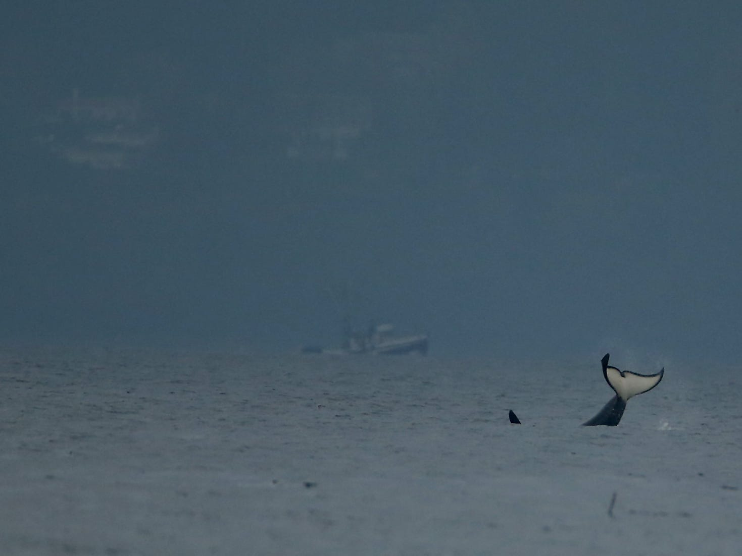 A southern resident orca slaps its tail while heading north in the middle of the channel, as seen from Fay Bainbridge Park on Wednesday, November 14, 2018. Members of J and K pod were spotted throughout the day in Puget Sound.