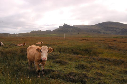 Sheep aren't the only friends who share trails with humans on the Isle of Skye. Occasionally, cows (with fabulous hairdos) will greet hikers.