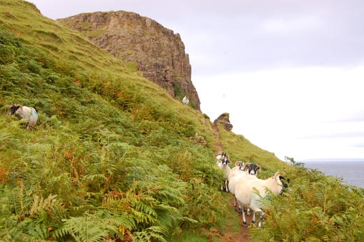 """Oh, hi. Um, excuse me, I need to get past you, please."" One never truly hikes alone in Scotland."
