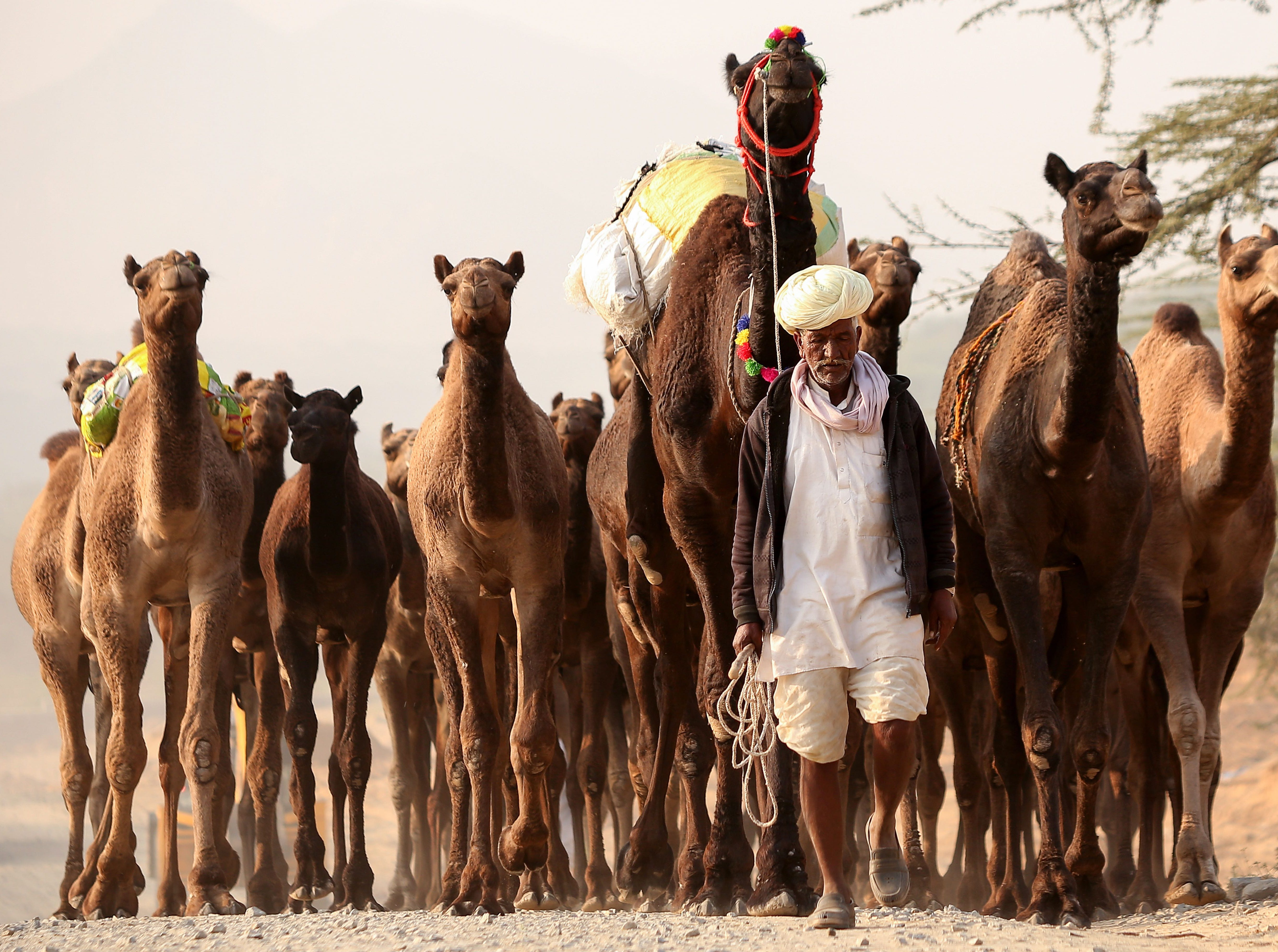 An Indian camel herder walks with his camels at the Pushkar Camel Fair in Pushkar, in the western state of Rajasthan, on November 15, 2018.  The annual five-day camel and livestock fair is one of the world's largest.