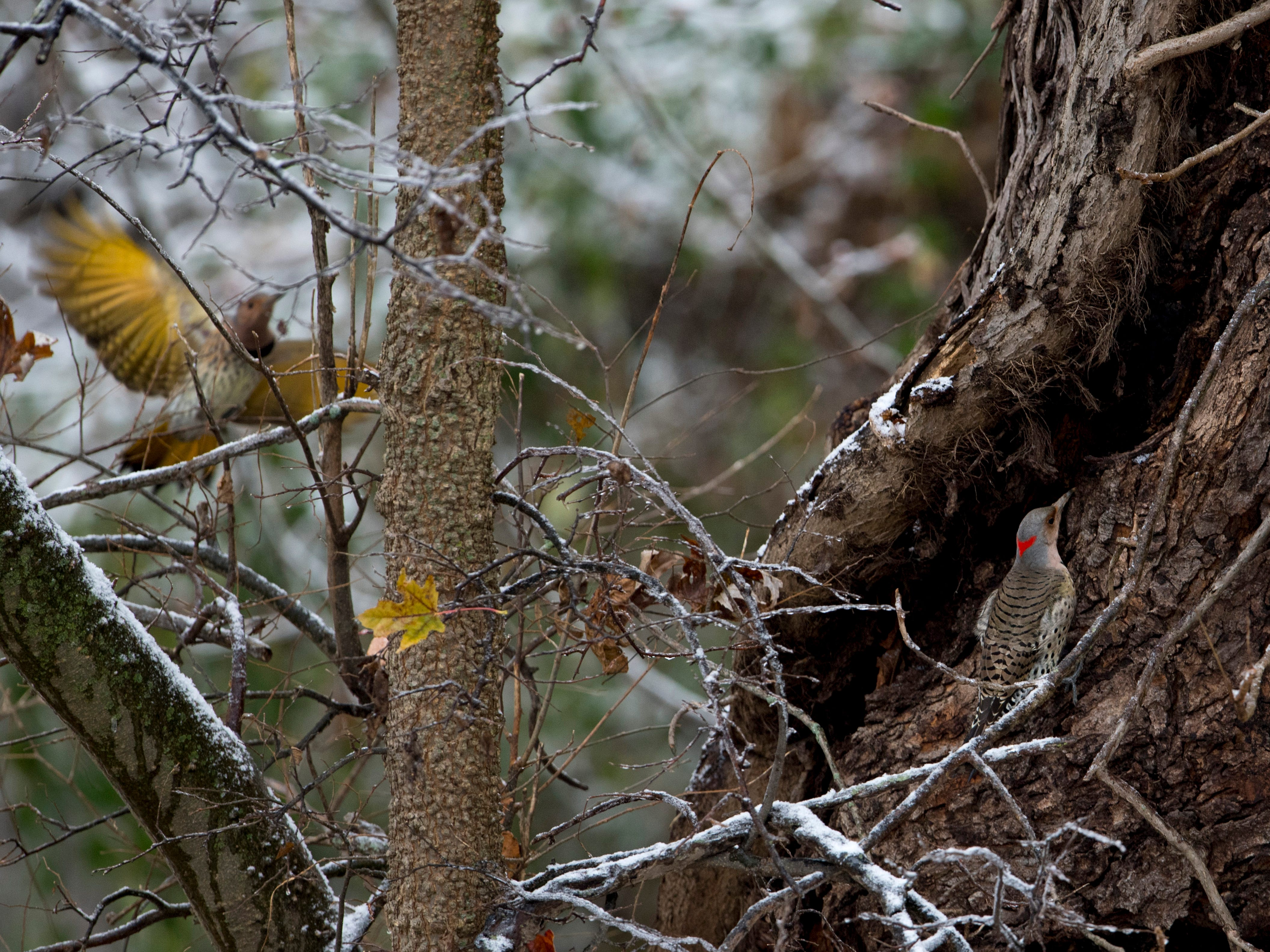 A pair of northern flickers investigate the opening in a hollow tree at the Indian Hill Overlook Park in Newburgh Thursday morning. A mixture of sleet and freezing rain ended earlier in the day, but snow began to take its place. Most schools were delayed two hours while some were cancelled for the day.