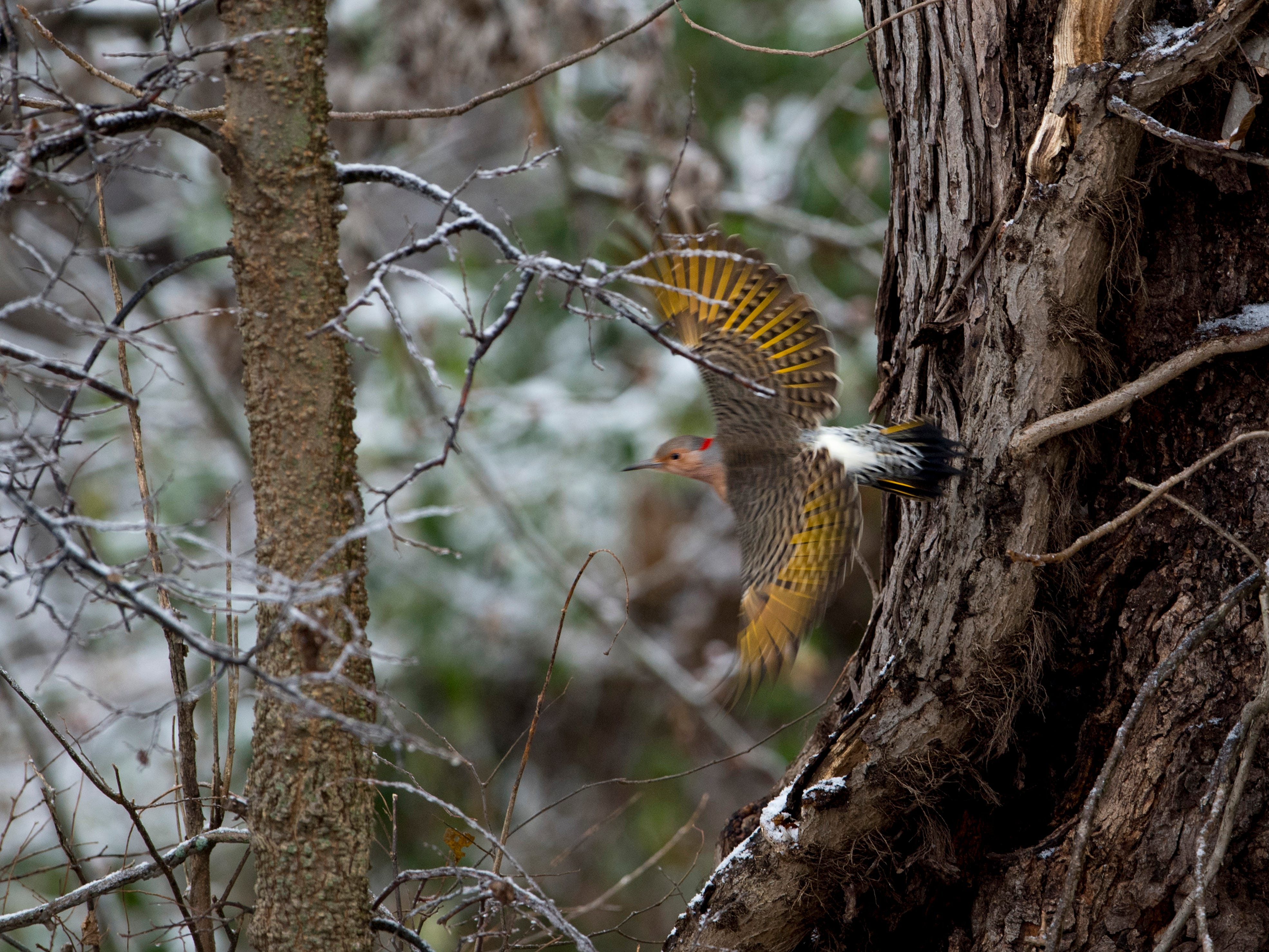 A northern flicker speeds away from its feeding spot at the Indian Hill Overlook Park in Newburgh Thursday morning. A mixture of sleet and freezing rain ended earlier in the day, but snow began to take its place. Most schools were delayed two hours while some were cancelled for the day.