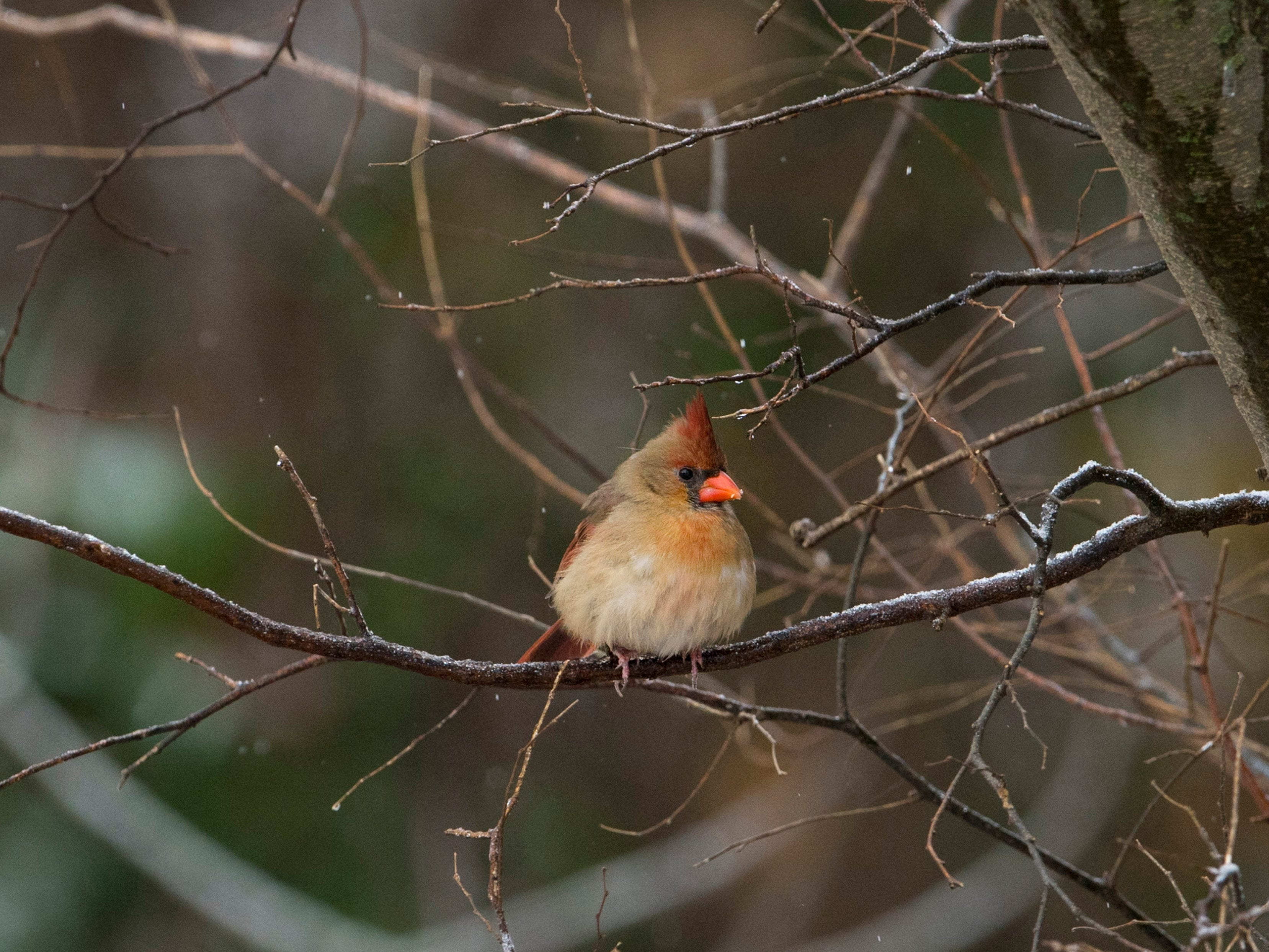 A female cardinal takes a break on a snow-covered branch at the Indian Hill Overlook Park in Newburgh Thursday morning. A mixture of sleet and freezing rain ended earlier in the day, but snow began to take its place. Most schools were delayed two hours while some were cancelled for the day.
