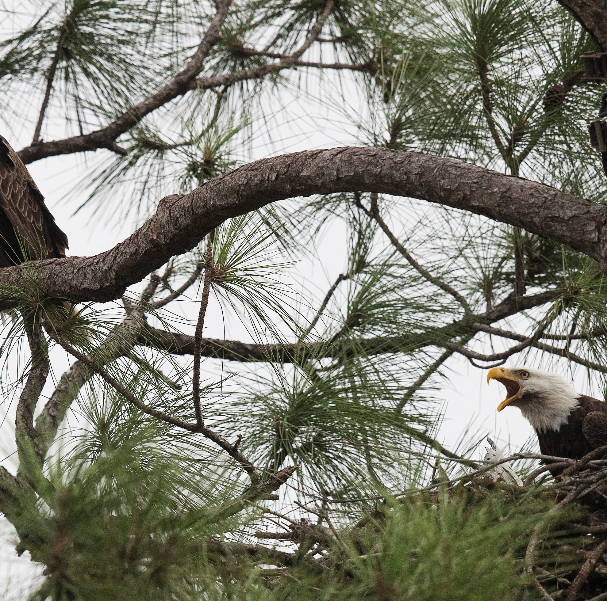 Eagle pair ready to raise another family in North Fort Myers