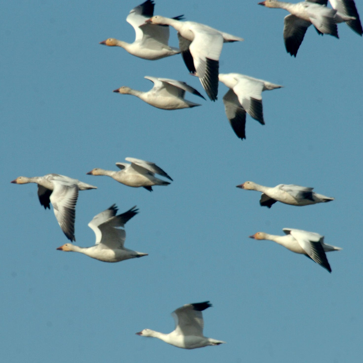 Information sought on snow geese killed at Elk Creek Colony BMA