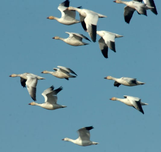 Snowgeese8