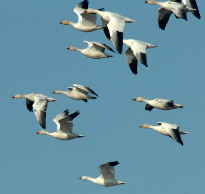 Snow geese fly overhead on their way to graze in nearby stubble fields.