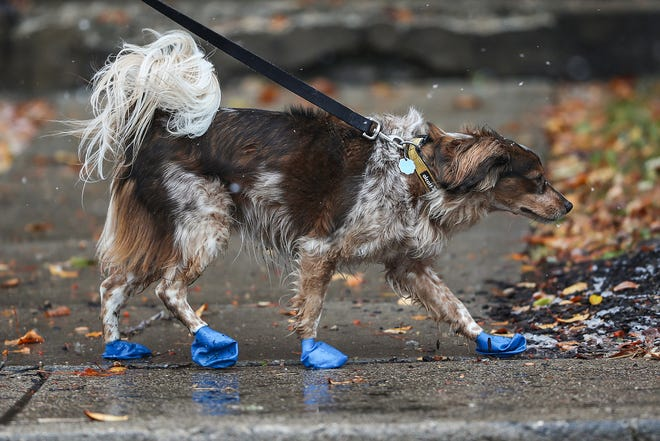 Kenji, led by owner Michelle Black, wears booties to protect his paws from ice on sidewalks in Indianapolis, Thursday, Nov. 15, 2018. An overnight wintry mix left Indianapolis covered in freezing rain and snow Thursday morning and afternoon.