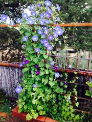 Morning glories tend to grow better in hot, dry climates like New Mexico.
