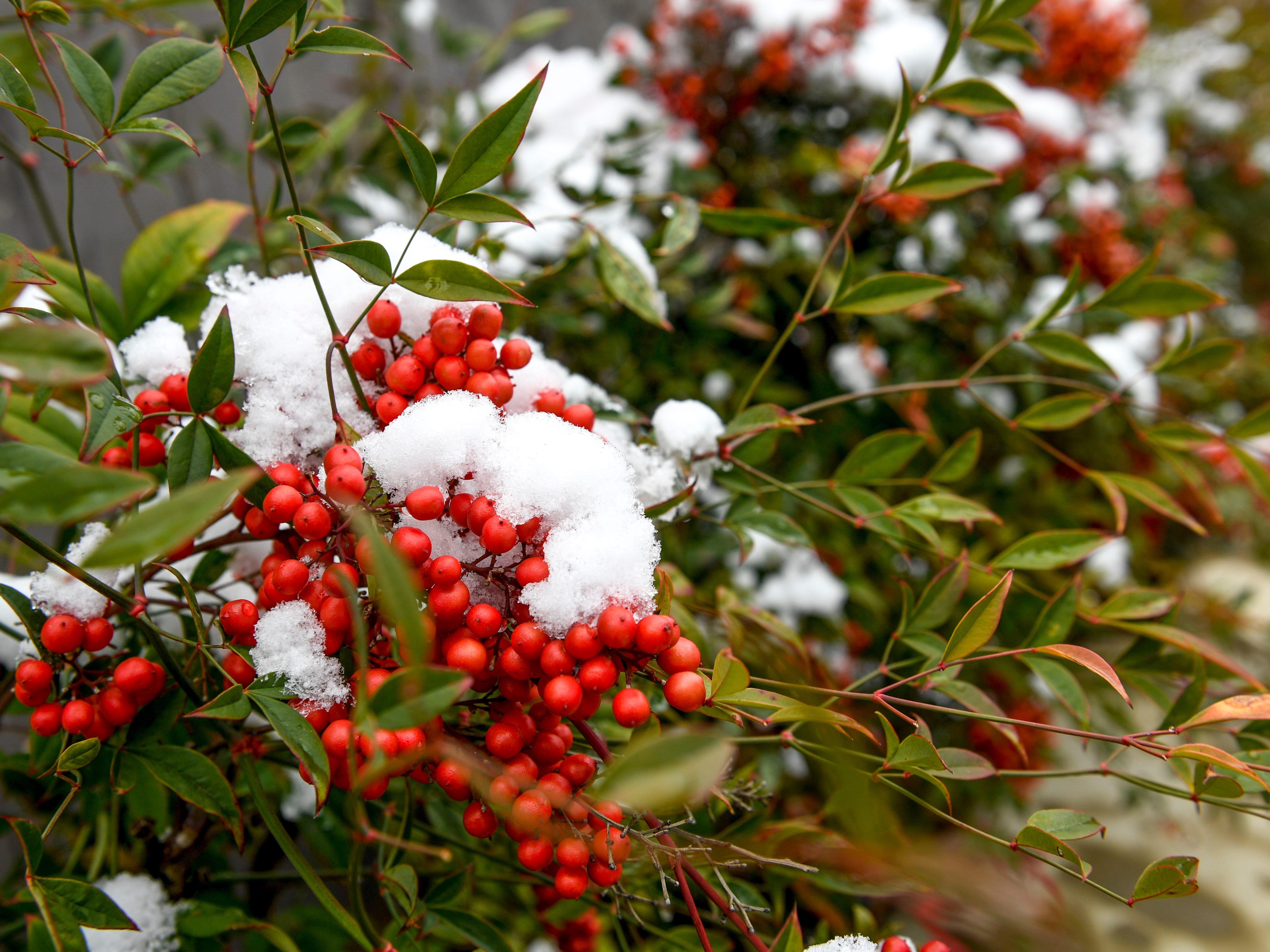 Red berries can be seen with a shelf of snow after an early snowfall coated scenes of late changing fall leaves, streets, and downtown with powdery snow in Jackson, Tenn., on Thursday, Nov. 15, 2018.