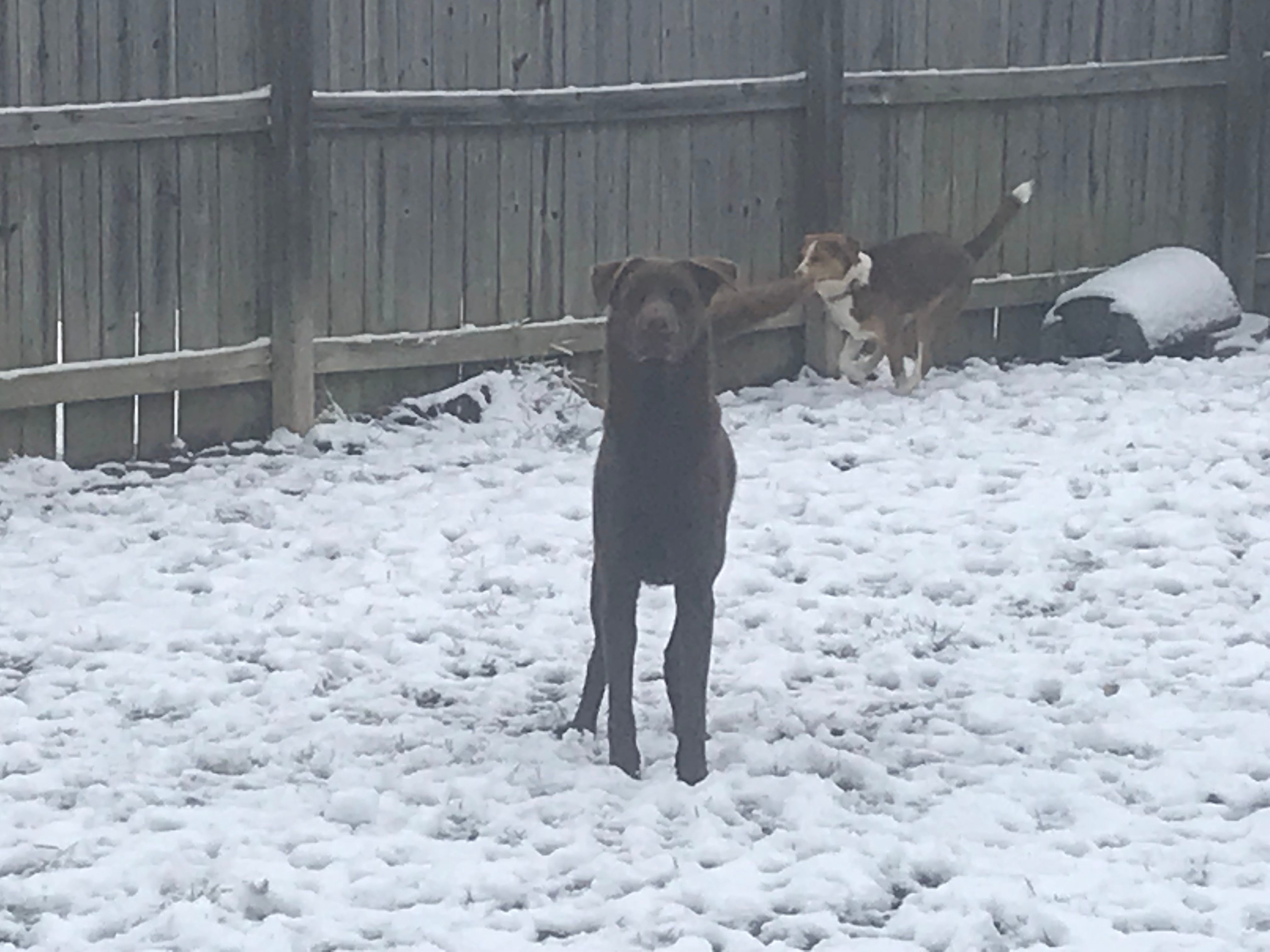 Duncan, a chocolate lab in Medina, poses for a photo while playing in the snow.
