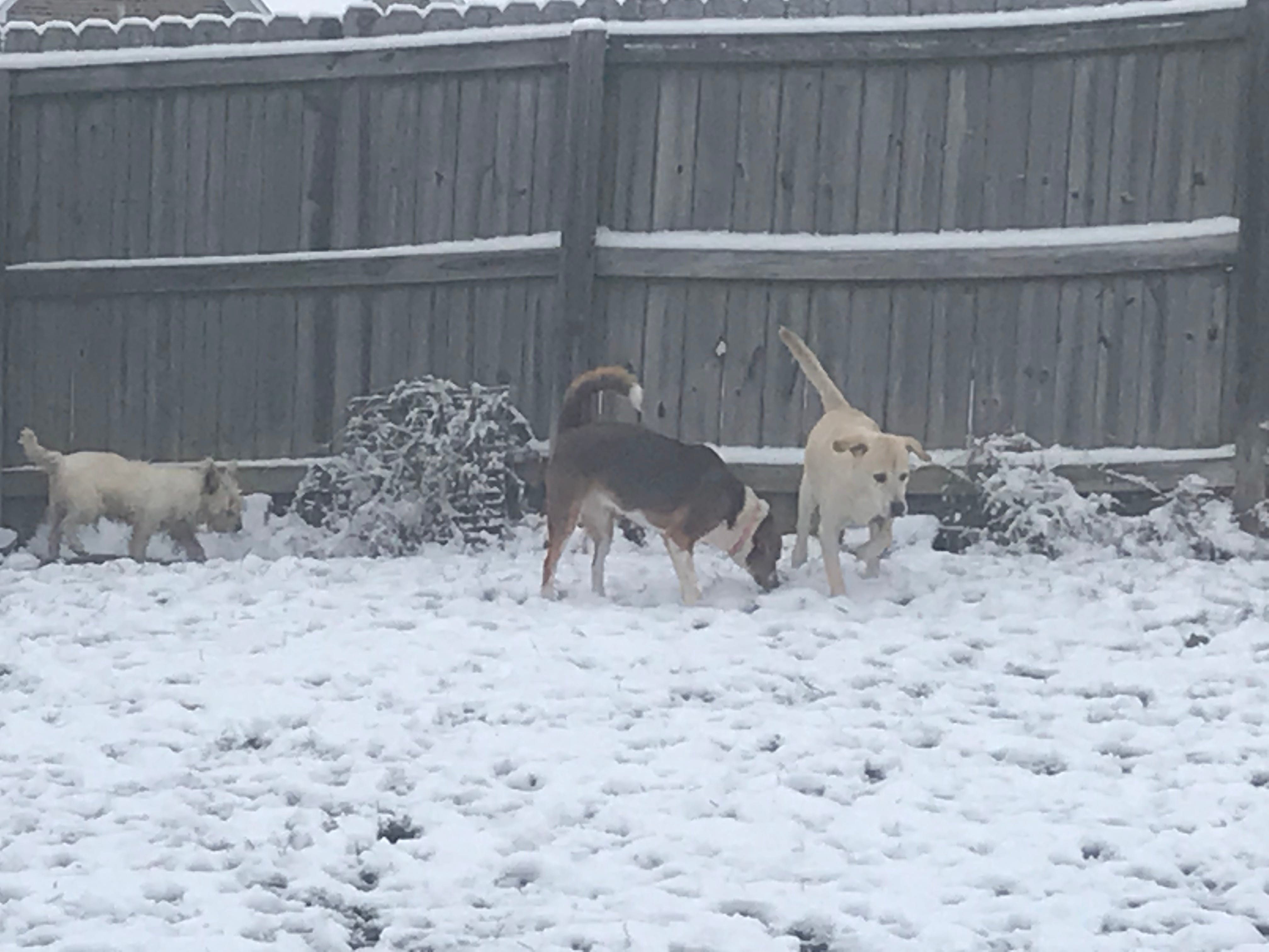 Dogs play in their backyard in the snow on Thursday morning.