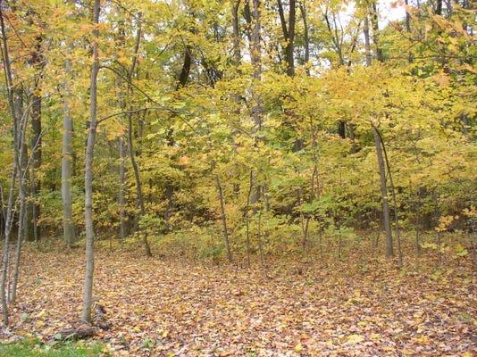Original Forest Appearance 2 Kavanders