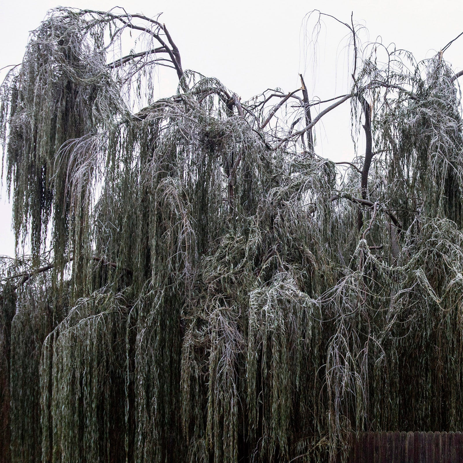 Why do trees break in Louisville during ice storms? We asked an expert