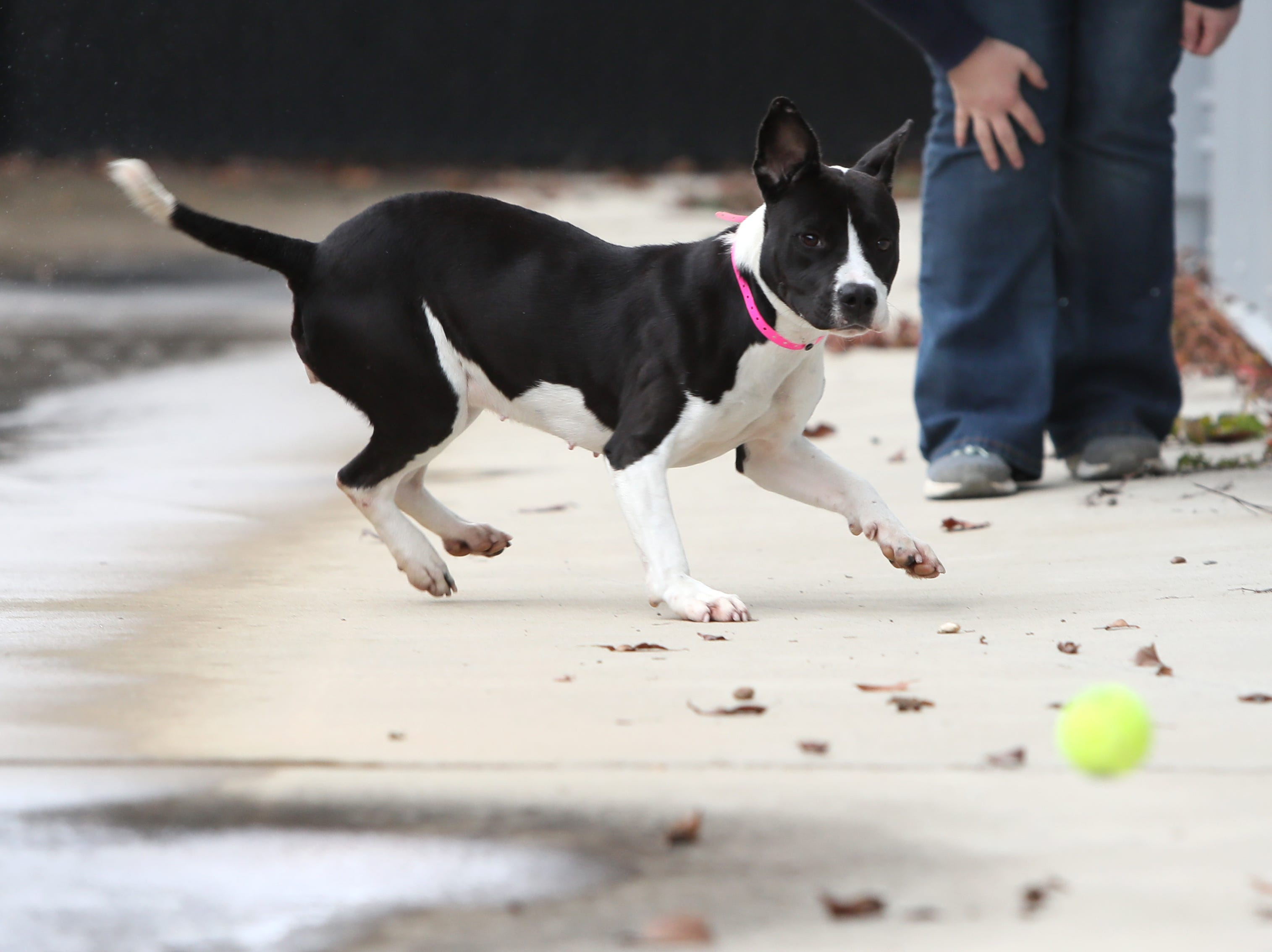 Jada, a 2-year-old female, who is a part of a weekly foster care program at the Memphis Animal Services on November, 14, 2018. The dog foster program aims to find temporary placement for dogs selected each week that are in the at-risk population of the shelter.