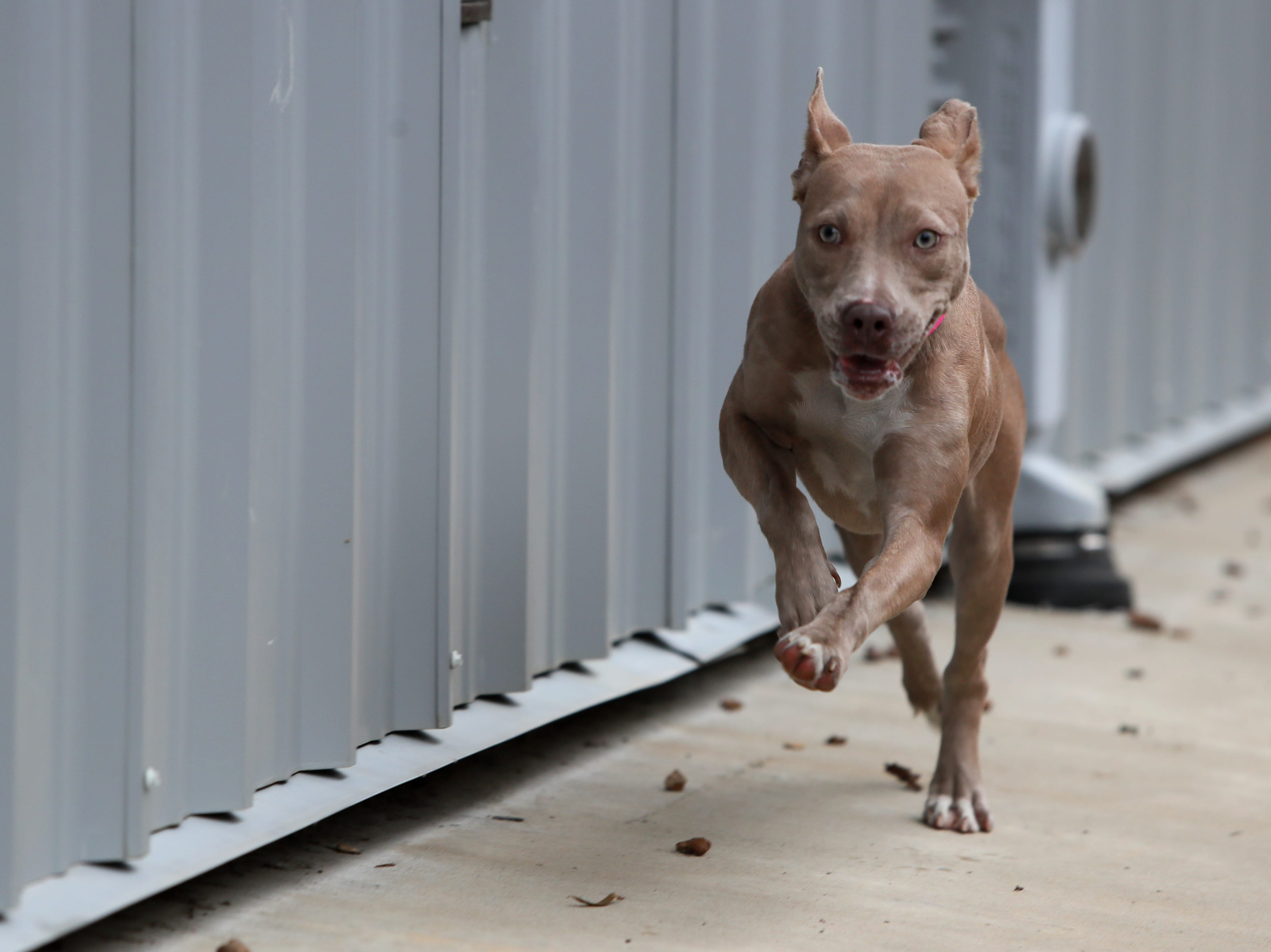 Peony, a 7-month-old female, who is a part of a weekly foster care program at the Memphis Animal Services on November, 14, 2018. The dog foster program aims to find temporary placement for dogs selected each week that are in the at-risk population of the shelter.