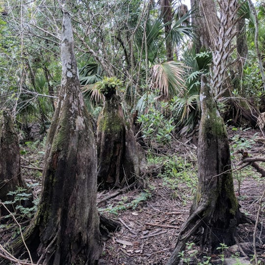 Cypress knees, which are part of the root system for one of the largest cypress trees in Florida.
