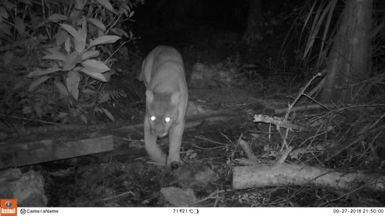 A photo taken by a trail camera belonging to Leah Miller on the grounds of the Gore Sanctuary Project.