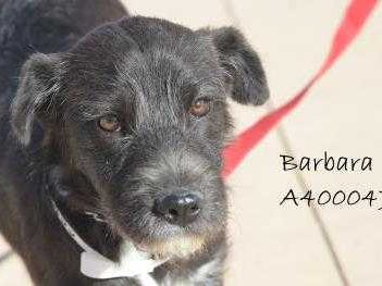 Barbara - Female (spayed) terrier mix, about 10 months old. Intake date: 10-24-2018