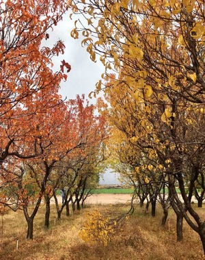 Two cultivars of peach trees, in Los Lunas, show particularly noticeable color distinctions.
