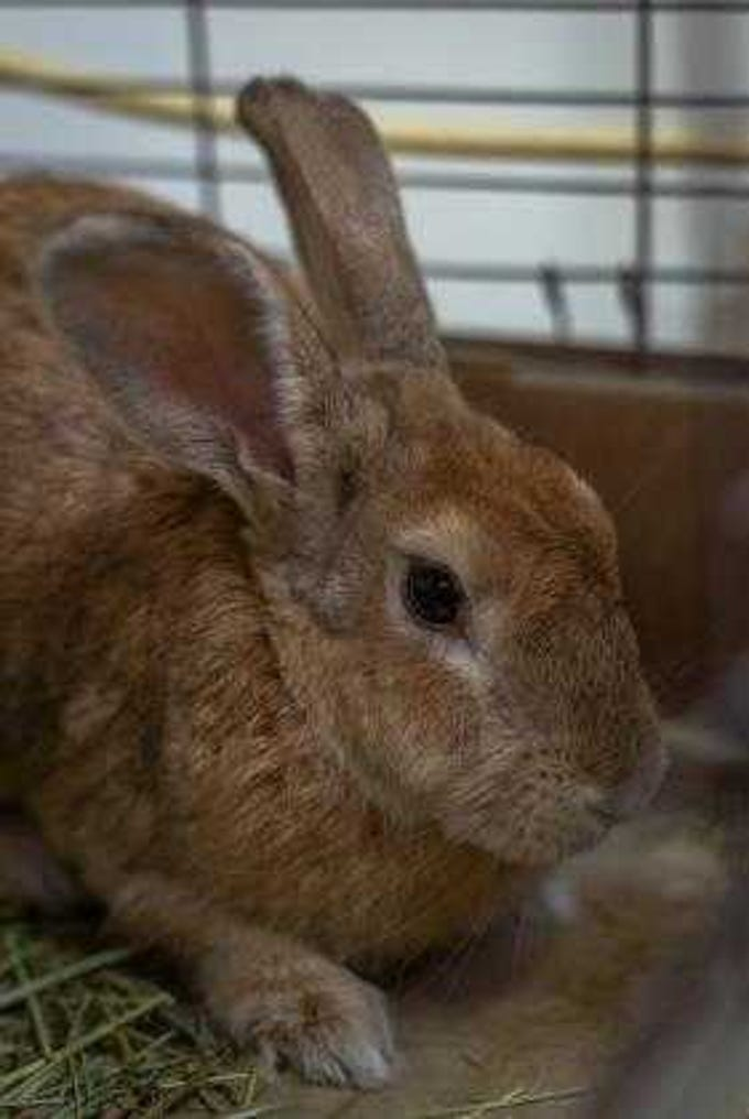Babs - Female (spayed) rabbit, adult. Intake date: 10-12-2018