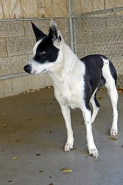 Violet is a 9-month-old border collie-heeler mix and smart as a whip.