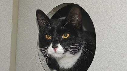 Dacey is a 7-month-old Tuxedo.