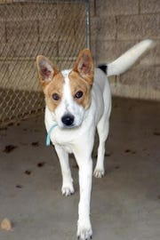 Yuki ia 8-months-old, a heeler mix, and she loves attention.
