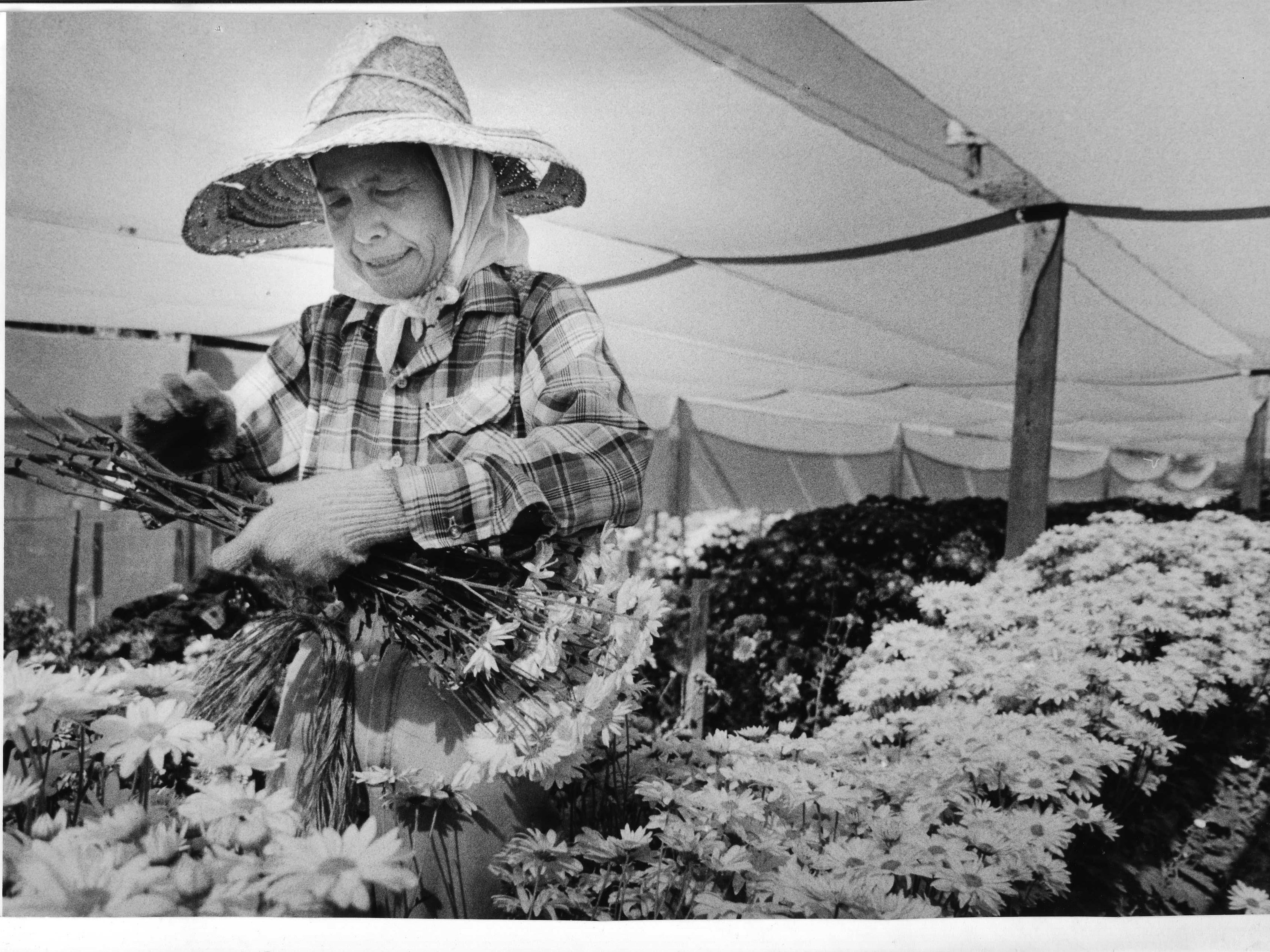 Yaeko Nakamura picks chrysanthemums in the flower gardens next to her business stand in Phoenix in 1986.
