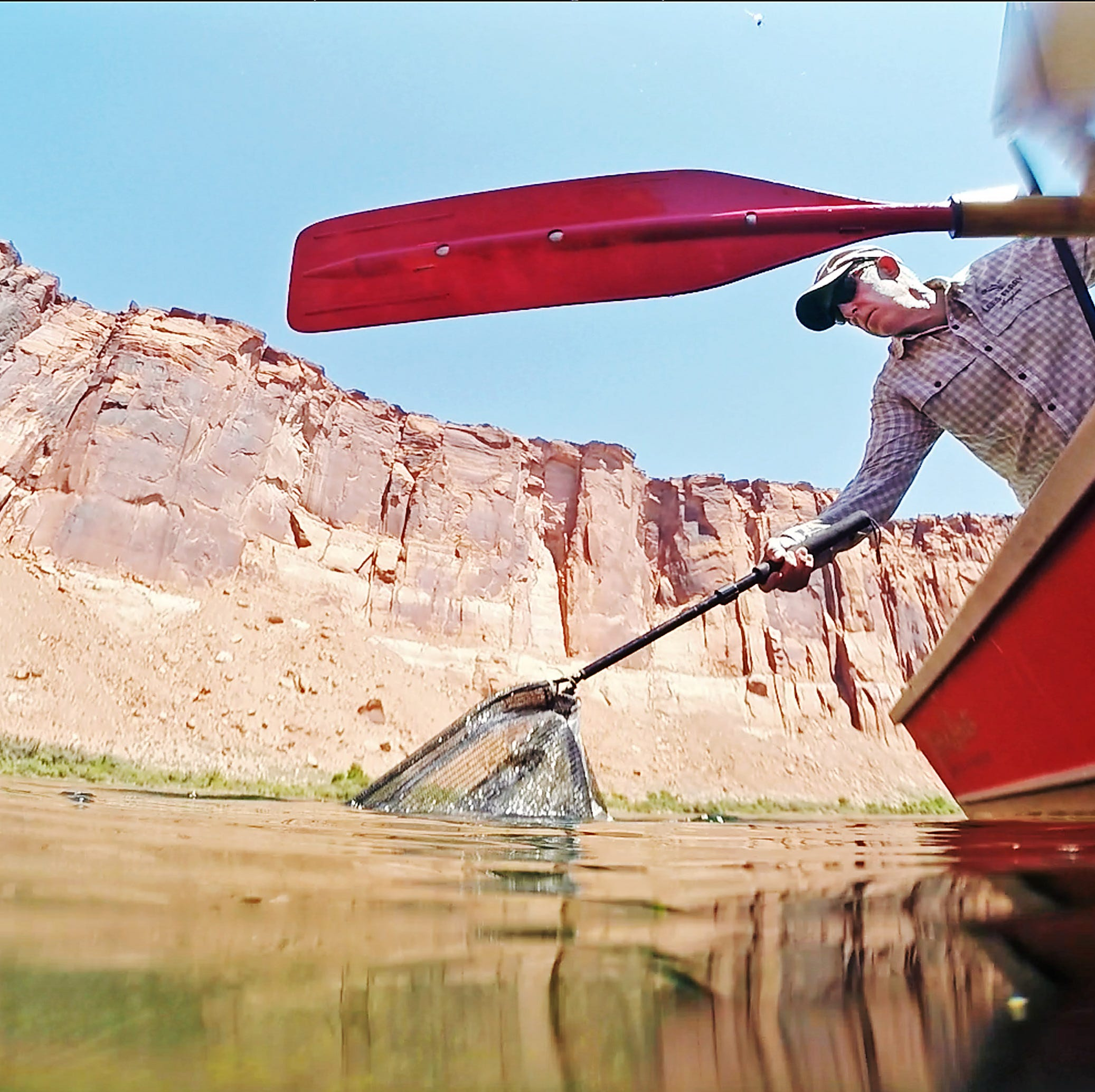 Grand Canyon flood fattened fish, but it's not all good news on the Colorado River