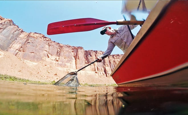 Lees Ferry Anglers guide Jeff English nets a rainbow trout during a fly fishing trip on the Colorado River from Lees Ferry near Marble Canyon in July.
