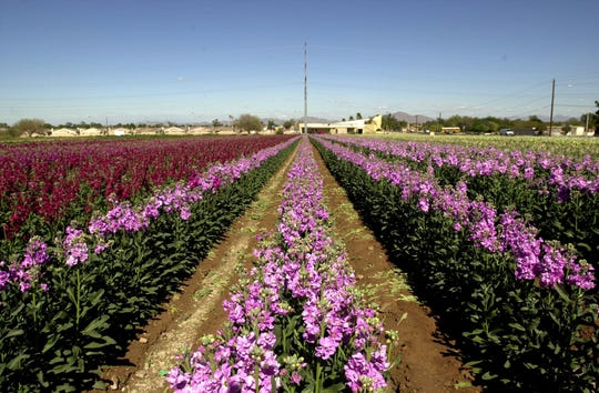 The flower farm of George Kishiyama is seen in 2000 on the northwest corner of 40th Street and Baseline Road in Phoenix. It was one of the last of the Japanese flower gardens on East Baseline.