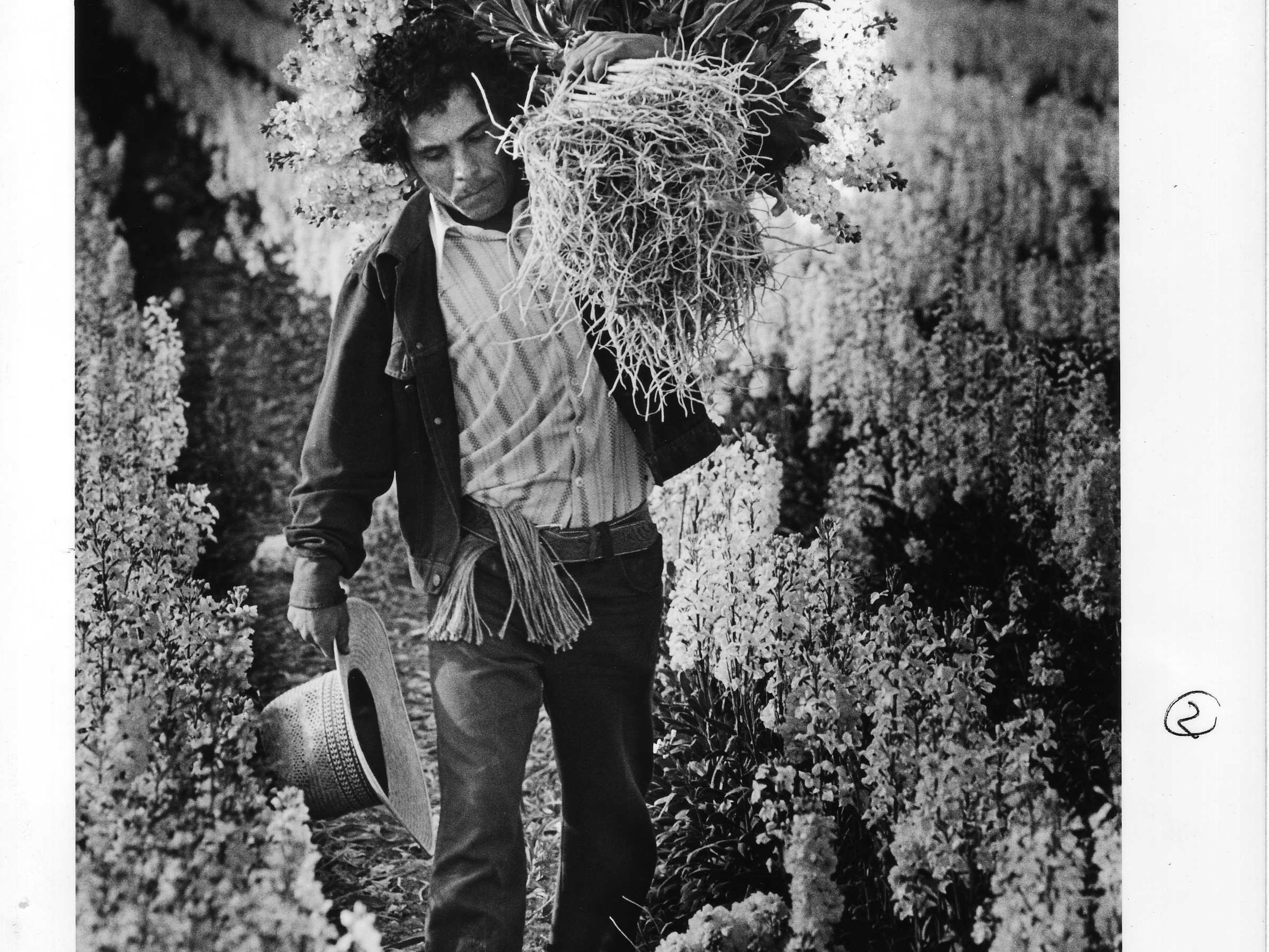 A worker hauls flowers in a Japanese flower garden in Phoenix in 1982.