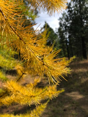 Larch needles