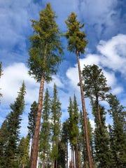 Tall Larch trees