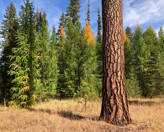 Larch trees with their yellow needles shown near a Ponderosa pine, the dominant tree of Eastern Oregon forests.
